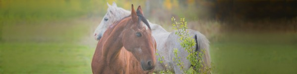 two_old_horses