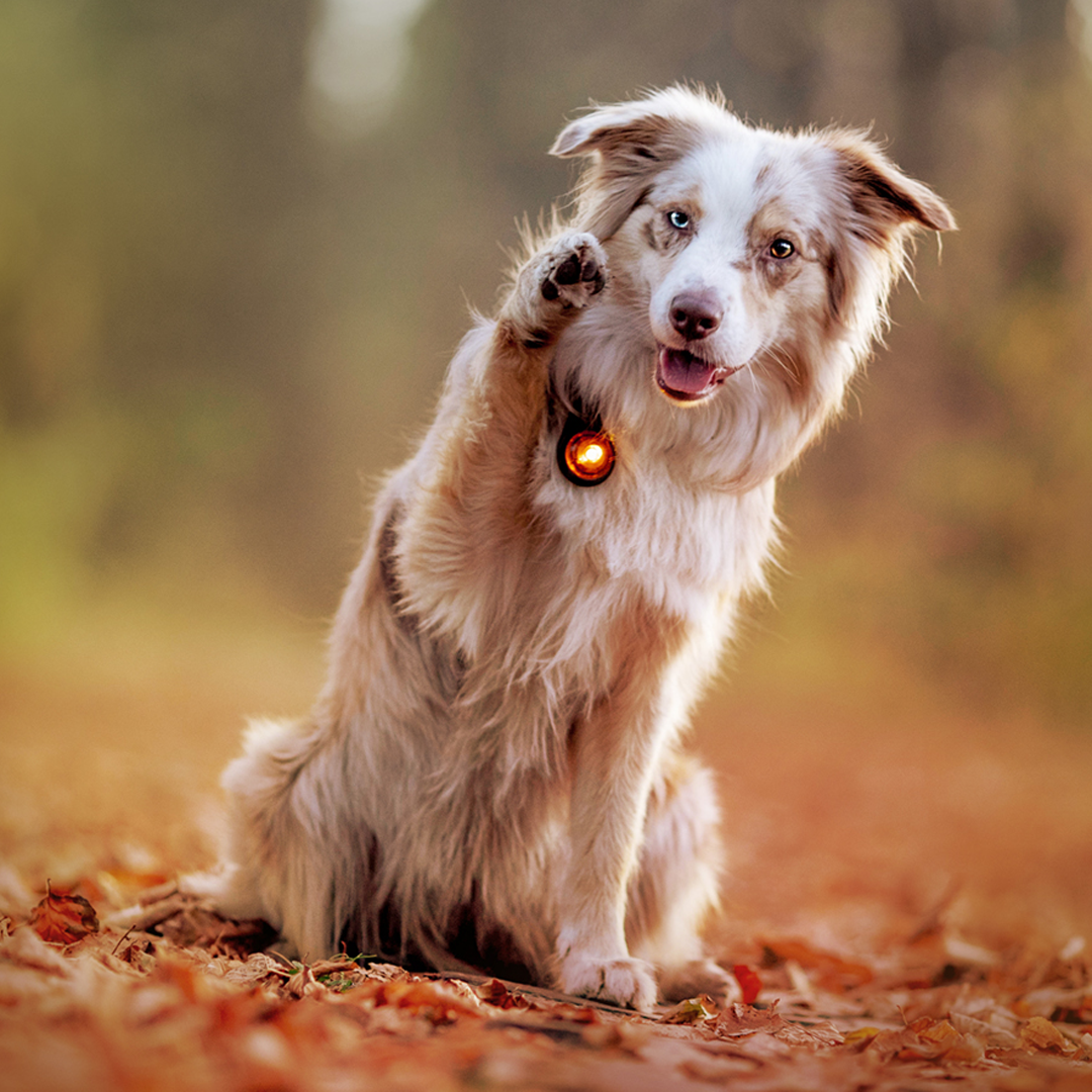 Orbiloc_Dog_Dual_Amber_Carabiner_Australian-Shepherds_High-Five-sleepherds_HR