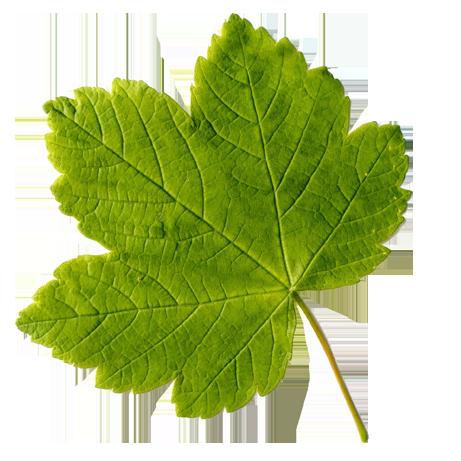Bergahornblatt
