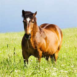 obese_horse